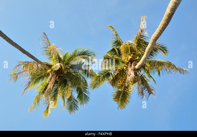 Two coconut trees from below - Stock Image