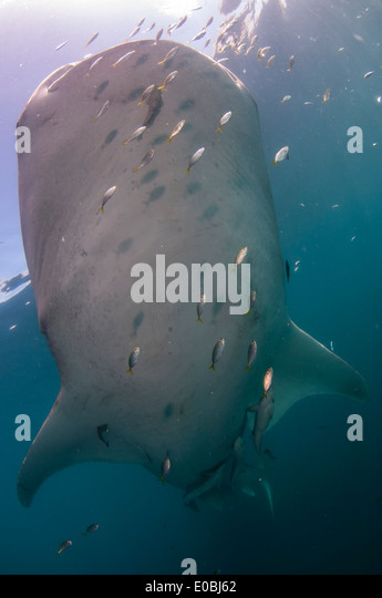 Underside of Whale shark, Cenderawasih Bay, New Guinea, Indonesia (Rhincodon typus) - Stock-Bilder