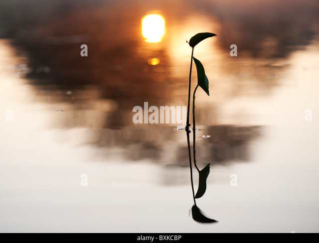 Sagittaria latifolia, Broadleaf arrowhead plant silhouette in a misty lake in the India countryside at sunrise. - Stock Image