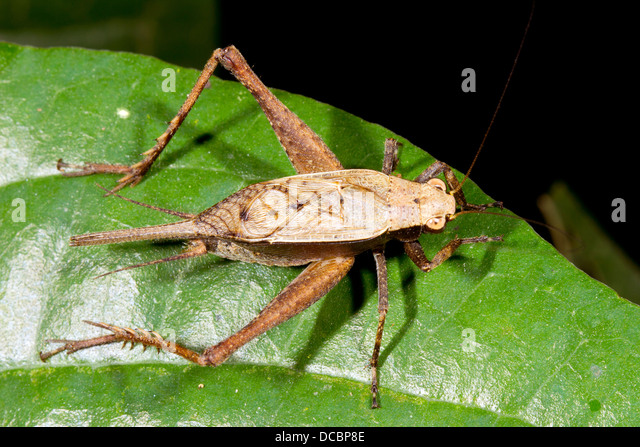 Cricket on a leaf in rainforest, ecuador - Stock Image