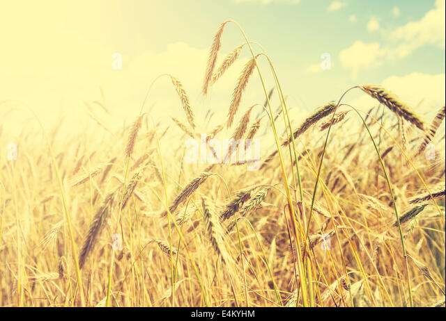 Vintage natural background, golden wheat field. - Stock Image