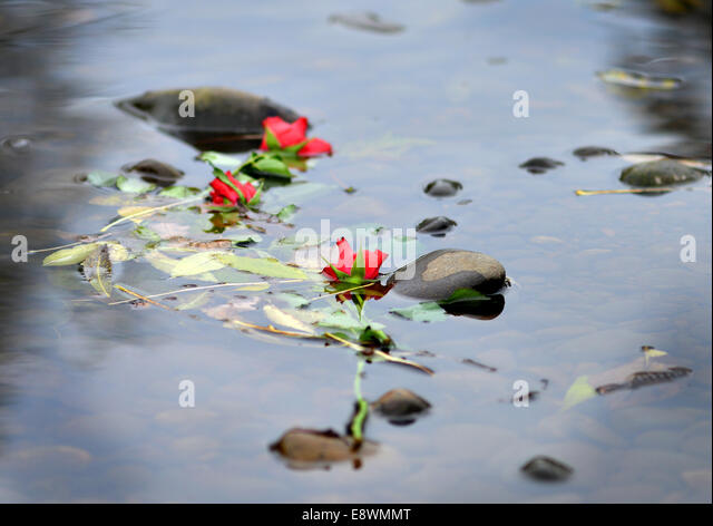 Roses floating in a river - Stock Image