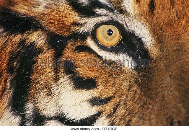 India Bengal tiger's face Panthertigris tigris big cat - Stock-Bilder