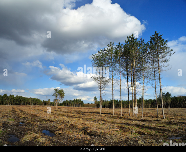 Group of trees in a cleared forest. - Stock Image
