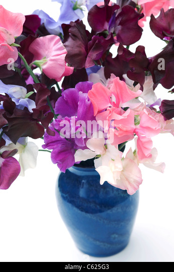 Lathyrus odoratus. Sweet pea flowers in a blue vase with a white background. - Stock Image