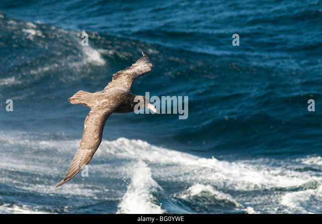 Giant petrel, near Falkland Islands, South Atlantic, South America - Stock Image