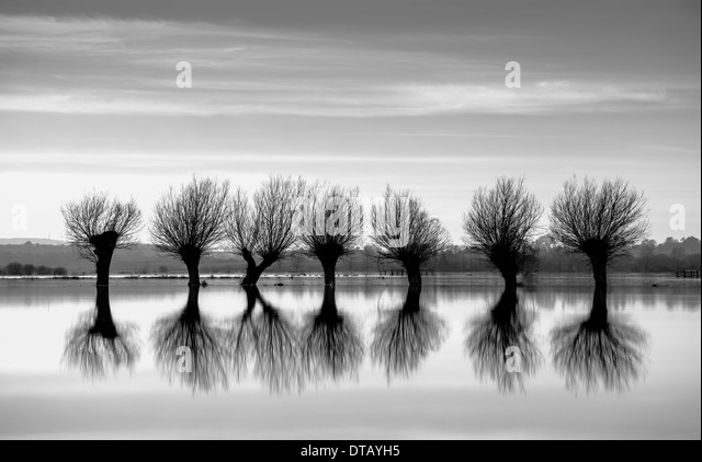 A row of pollarded willow trees,silhouetted against the flooded landscape of the Somerset levels. - Stock Image