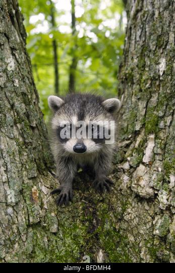 Raccoon baby - Vertical - Stock Image