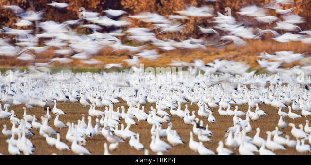 snow goose (Anser caerulescens atlanticus, Chen caerulescens atlanticus), Snow Geese wintering in Bosque del Apache, - Stock Image