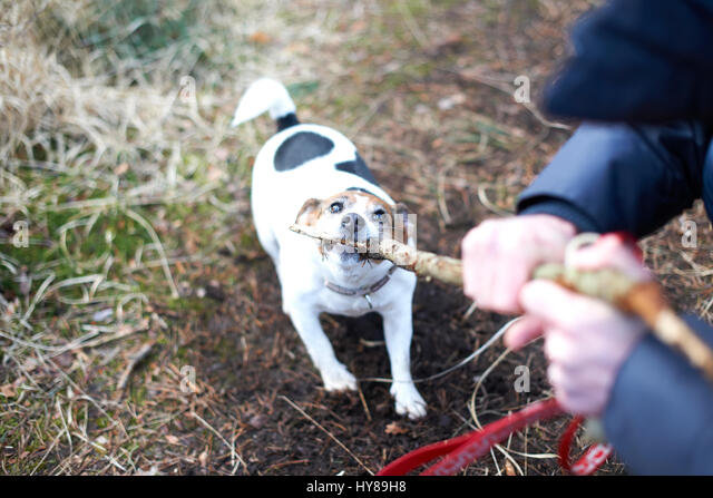 A jack russell terrier plays with a stick - Stock Image