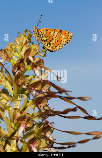 Spotted Fritillary butterfly (Melitaea didyma) adult male roosting on a Lizard Orchid (Himantoglossum hircinum) - Stock Image