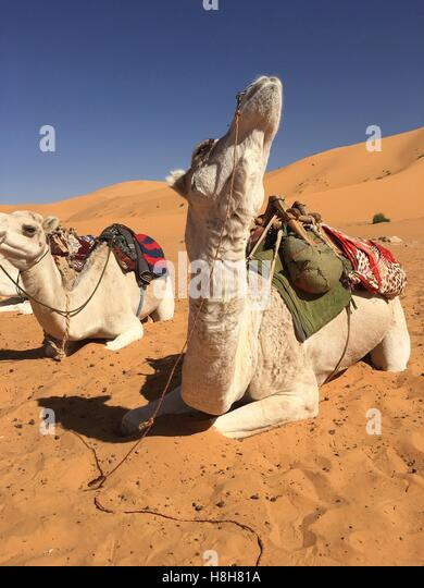 Camel riding at Taghit desert, Bechar, Algeria - Stock Image