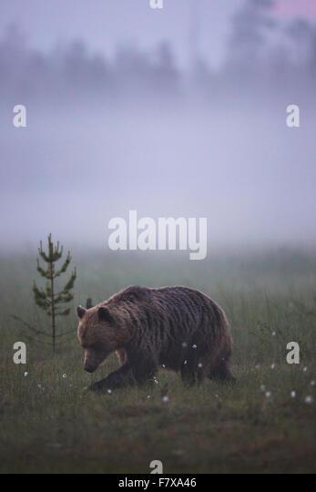 Brown bear, Ursus arctos walking in fog over a moss at dawn, Kuhmo, Finland - Stock Image