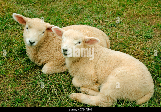 TWO LAMBS 2 LAMBS - Stock Image