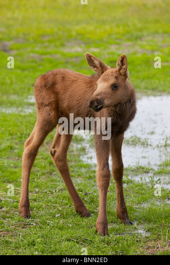 CAPTIVE young moose calf stands in green grass at the Alaska Wildlife Conservation Center in Alaska - Stock Image