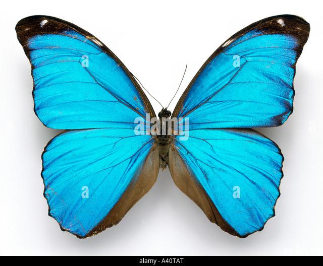 Morpho menelaus Cramer's blue butterfly - Stock Image