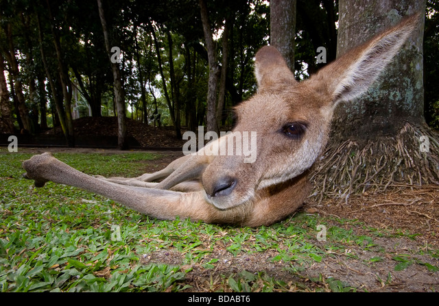 Eastern Grey Kangaroo Macropus giganteus relaxing - Stock Image