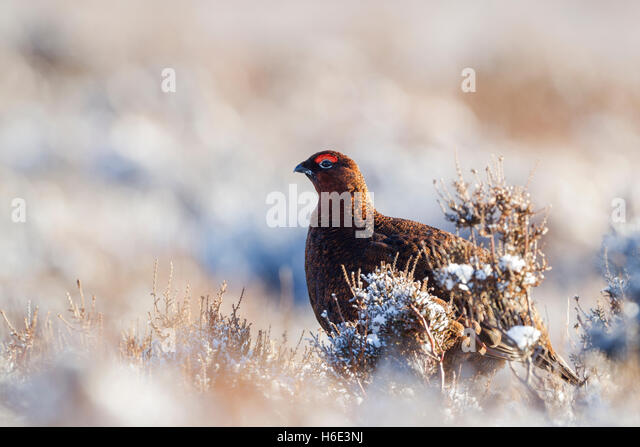 Male red grouse, Latin name Lagopus lagopus scotica, standing among snow covered heather - Stock Image