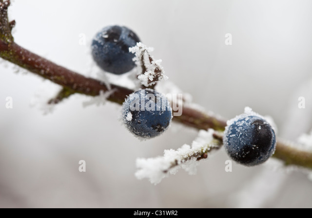 Winter scene hoar frost on sloe berries in The Cotswolds, UK - Stock Image