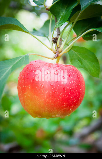 A Close Up of a Single Bright Red Apple on an Apple Tree - Stock Image