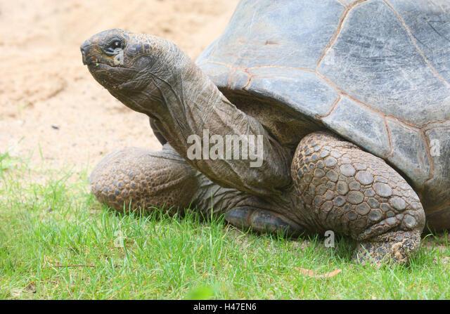 Seychelles-gigantic tortoise, - Stock Image