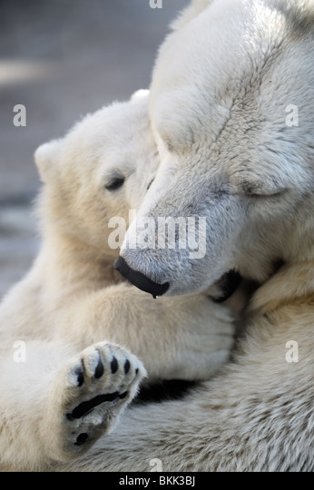 Little polar bear cub playing with his mom - Stock-Bilder