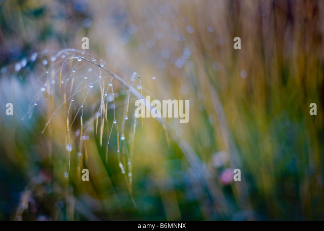 Stipa Gigantea - winter garden - Stock Image