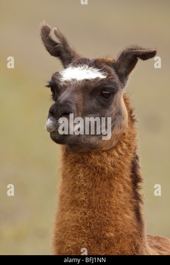Portrait of a Llama in the Ecuadorian highlands. - Stock Image