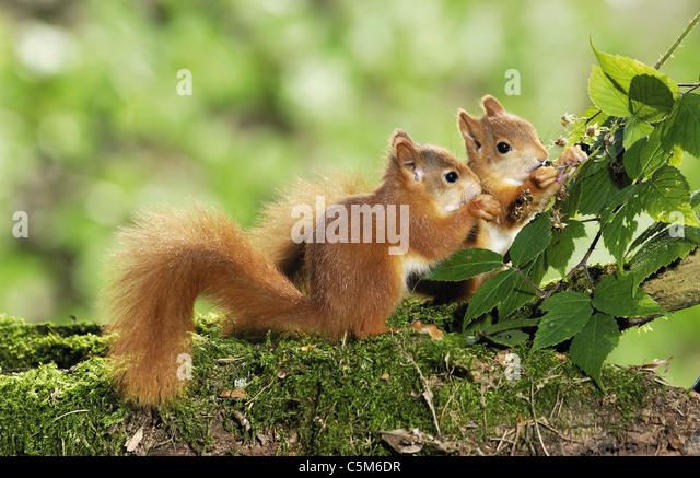 2 European red squirrel cubs eating blackberries - Stock Image