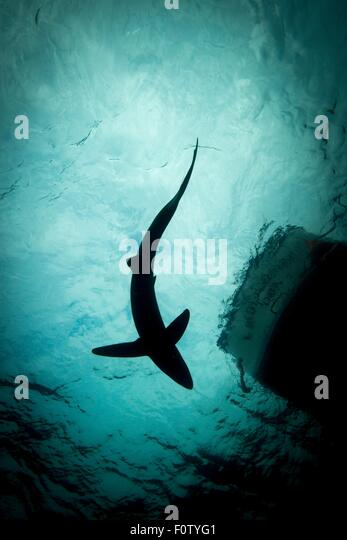 Low angle view of blue shark - Stock Image
