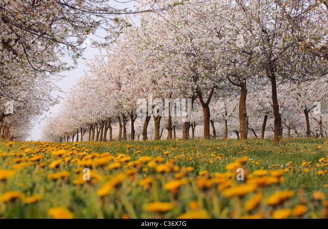 cherry blossom and dandelion in a plantation in spring - Stock Image
