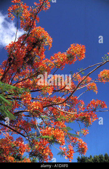 Grenada southern caribbean Royal Flamboyant Tree Flame Tree Poinciana Tree Tropics Tropical - Stock Image