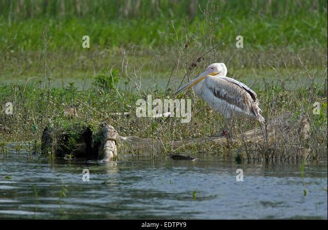 Young of great white pelican (Pelecanus onocrotalus), Danube delta, Romania, Europa - Stock Image