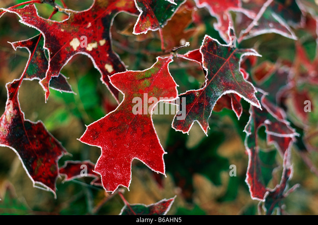 CLOSE UP OF FROSTED FALL LEAVES TIDIOUTE OVERLOOK ALLEGHENY NATIONAL FOREST PENNSYLVANIA USA - Stock Image