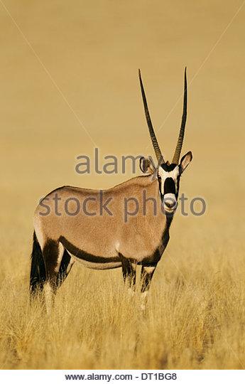 NamibRand Nature Reserve Namibia Oryx gazella NamibRand Nature Reserve Namibia - Stock Image