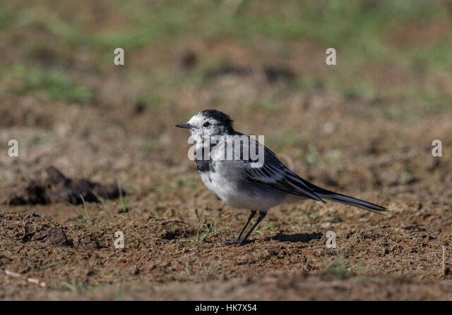 Pied Wagtail female, late summer - Stock-Bilder