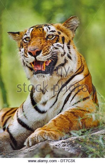 Bengal tiger resting Panthera tigris tigris Western Ghats India Western Ghats India - Stock-Bilder