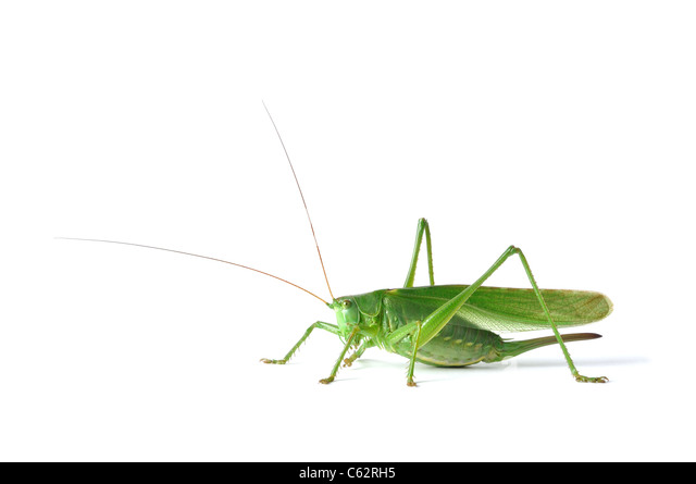 Grasshopper - Stock Image