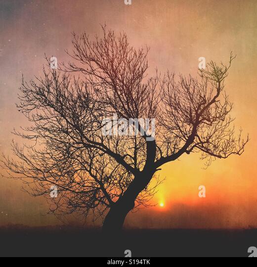Ash tree at sunrise in winter - Stock-Bilder