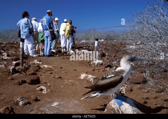 Ecuador Galapagos Islands North Seymour Island blue footed booby bird adult visitors tour - Stock Image