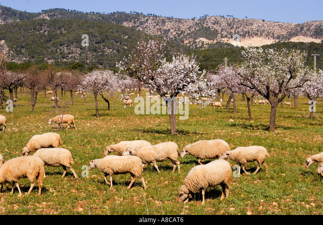Mallorca almond blossom Mallorca almond blossom - Stock Image