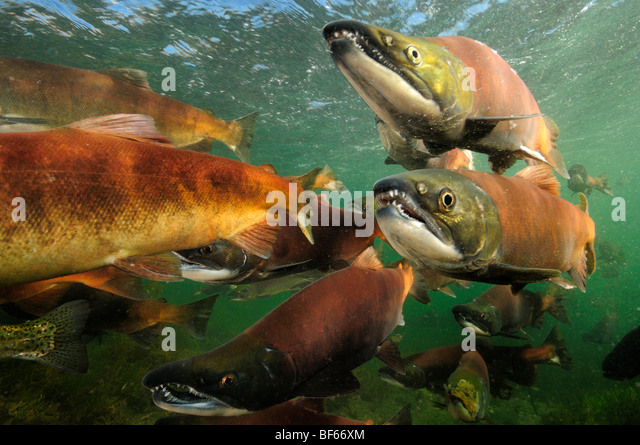 Red salmon, Oncorhynchus nerka, Kokanee, East River, Colorado - Stock Image