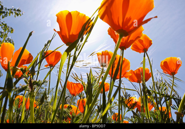 oregon, united states of america; poppies growing in willamette valley - Stock Image