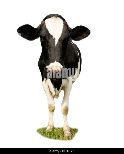 Friesian Cow Cut Out - Stock Image