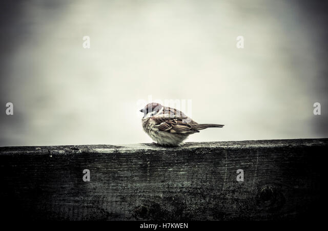 Little bird freezing in winter cold. Small sparrow sitting on fence. - Stock-Bilder