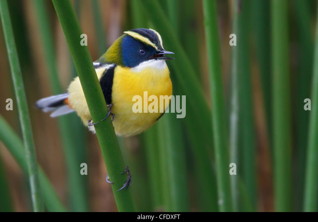 Many-colored Rush-Tyrant (Tachuris rubrigastra) perched in the reeds near Lago Junin in Peru. - Stock Image