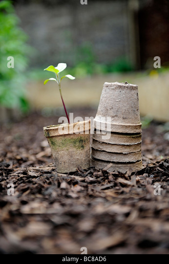 seedlings growing in brown re used compostable seed pots stacked on bark chippings in an organic garden - Stock Image