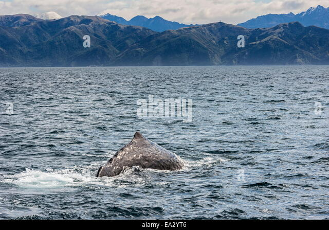 Sperm whale diving, Kaikoura, South Island, New Zealand, Pacific - Stock Image