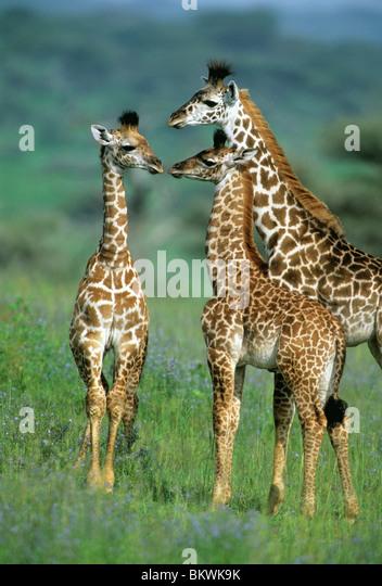 Masai Giraffe, (Giraffa camelopardalis), family group, Serengeti National Park, Tanzania. - Stock Image
