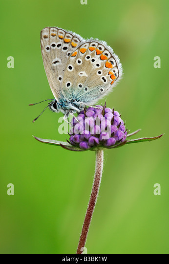 Common Blue Polyommatus icarus adult perched on flower Switzerland - Stock Image